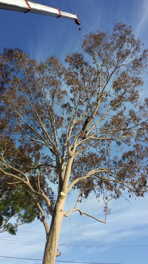 tree pruning ryde