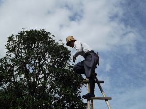 tree pruning services sydney