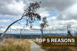 5 Reasons to Deadwood a Tree